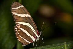 зебра бабочки longwing Стоковое Изображение