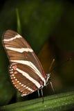 зебра бабочки longwing Стоковое фото RF