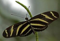 зебра бабочки longwing Стоковые Фотографии RF