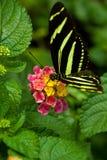 зебра бабочки longwing Стоковое Изображение RF
