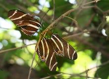 зебра бабочки longwing Стоковая Фотография
