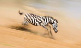 Зебра бежит в пыли в движении Кения Танзания Национальный парк serengeti masai mara Стоковое фото RF