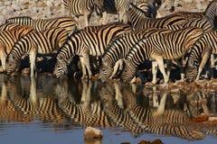 Зебра бросила отражения пока выпивающ на waterhole Стоковые Фотографии RF