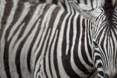 Зебра - взгляд конца-вверх с акцентом на уникально картине кожи Стоковые Фотографии RF