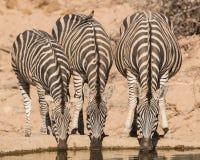 Зебра выпивая, запас Balule, Южная Африка Стоковое фото RF