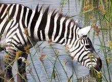 Зебра выпивая на водопое Стоковая Фотография
