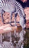 Зебра выпивая от Waterhole стоковая фотография