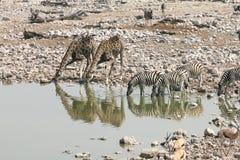 Зебра выпивая с жирафами в Намибии Стоковая Фотография