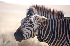 зебра выражения Стоковое Изображение