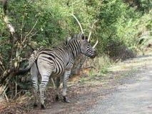Зебра в африканском кусте в заповеднике Южной Африки около обочины Стоковые Фото