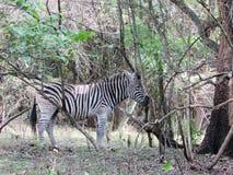 Зебра в африканском кусте сняла в заповеднике Южной Африки Стоковые Изображения RF