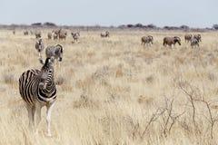 Зебра в африканском кусте Стоковые Фотографии RF