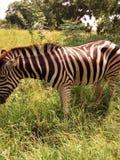 Зебра в Гане стоковые фото