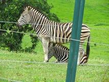 Зебра в запасе защиты стоковые изображения rf