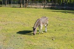 Зебра в зверинце Африканское животное запертое в клетке Стоковые Изображения