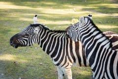 Зебра в зверинце Африканское животное запертое в клетке Стоковые Фотографии RF
