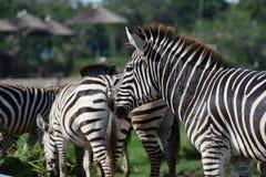 Зебра в зверинце Стоковые Изображения