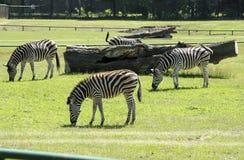 Зебра в зверинце Стоковая Фотография RF