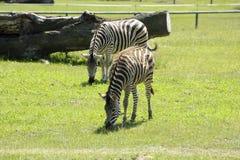 Зебра в зверинце Стоковая Фотография