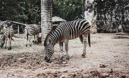 Зебра в зверинце Стоковое Изображение