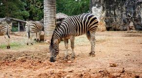 Зебра в зверинце Стоковые Фотографии RF