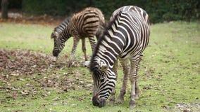 Зебра в зоопарке есть траву акции видеоматериалы
