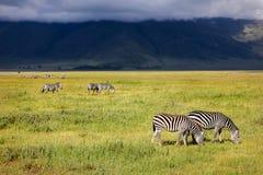 Зебра в кратере Ngorongoro вышесказанного Танзания Стоковая Фотография RF
