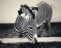 Зебра в Лиме Стоковые Изображения