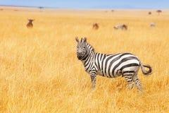 Зебра в национальном парке Amboseli, Кения Стоковая Фотография