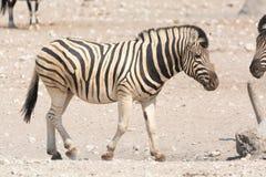 Зебра в национальном парке etosha, Намибии Стоковые Фотографии RF