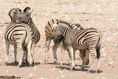 Зебра в национальном парке etosha, Намибии Стоковое Изображение RF