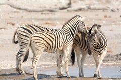 Зебра в национальном парке etosha, Намибии Стоковая Фотография