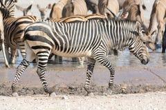 Зебра в национальном парке etosha, Намибии Стоковые Изображения RF