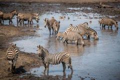 Зебра в национальном парке Kruger, Южная Африка выпуска облигаций Стоковая Фотография RF