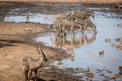 Зебра в национальном парке Kruger, Южная Африка выпуска облигаций Стоковое Изображение