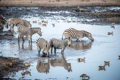 Зебра в национальном парке Kruger, Южная Африка выпуска облигаций Стоковая Фотография
