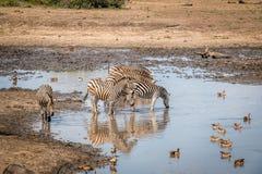 Зебра в национальном парке Kruger, Южная Африка выпуска облигаций Стоковое Фото