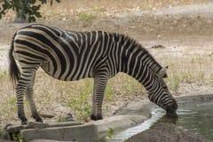 Зебра в одичалом в Сенегале Стоковые Изображения