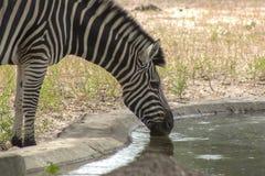 Зебра в одичалом в Сенегале Стоковые Фото