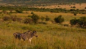 Зебра в открытом стоковые изображения rf