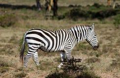 Зебра в одичалой природе Стоковые Фото