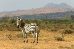 Зебра в одичалой природе Стоковое Изображение