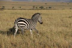 Зебра в одичалом maasai mara Стоковые Изображения