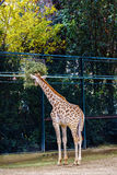 Зебра в парке живой природы Стоковое фото RF