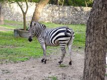 Зебра в парке стоковые фотографии rf