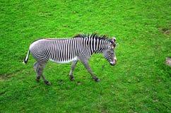 Зебра в поле Стоковые Фото