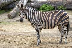 Зебра в расчистке Стоковые Фото