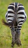 Зебра в саванне Кения Танзания Национальный парк serengeti Maasai Mara Стоковые Фото