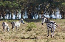Зебра в саванне Стоковые Фото