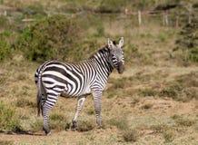 Зебра в саванне Стоковое Изображение